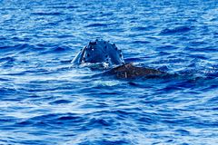 Горбатый кит младенца со своей матерью стоковые фото
