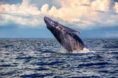 Горбатый кит младенца скачет Стоковые Фотографии RF