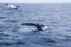 Горбатый кит наблюдая в побережье эквадора Стоковое Изображение RF