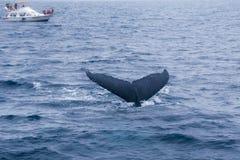 Горбатый кит наблюдая в побережье эквадора Стоковое фото RF
