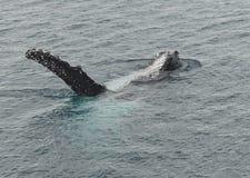 Горбатый кит на заливе Квинсленде Hervey Стоковая Фотография RF