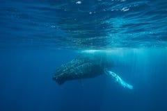 Горбатый кит на поверхности Стоковая Фотография