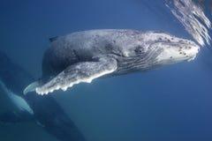 Горбатый кит на поверхности Стоковое фото RF