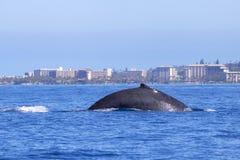 Горбатый кит ныряет в океане перед береговой линией Мауи стоковая фотография rf