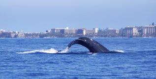 Горбатый кит ныряет перед береговой линией Мауи стоковые фото