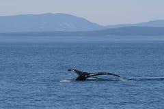 Горбатый кит ныряя вниз стоковое изображение rf