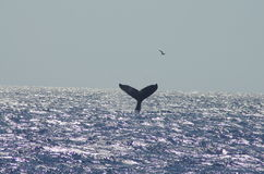 Горбатый кит около Мауи Стоковые Фотографии RF