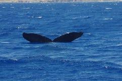 Горбатый кит около Мауи стоковое изображение rf