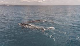 Горбатый кит показывая там искусства Стоковое Фото