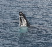 Горбатый кит показывая там искусства Стоковое фото RF