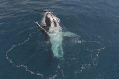 Горбатый кит показывая там искусства Стоковые Изображения RF