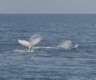 Горбатый кит показывая там искусства Стоковая Фотография RF