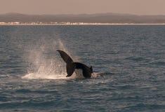 Горбатый кит показывая там искусства Стоковые Изображения