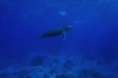 Горбатый кит подводная Французская Полинезия Стоковые Изображения
