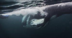 Горбатый кит принимает сельдей Стоковое Фото