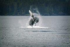 Горбатый кит пробивая брешь в Аляске Стоковые Изображения