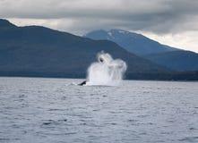 Горбатый кит пробивая брешь около Juneau Стоковые Фотографии RF