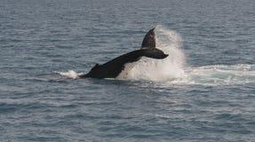 Горбатый кит пробивая брешь пока показывающ там искусства Стоковые Изображения RF