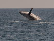 Горбатый кит пробивая брешь пока показывающ там искусства Стоковая Фотография
