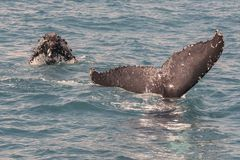 Горбатый кит пробивая брешь пока показывающ там искусства Стоковое Фото