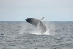 Горбатый кит пробивая брешь, треска накидки, Массачусетс Стоковые Фотографии RF