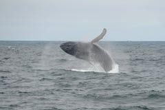 Горбатый кит пробивая брешь, треска накидки, Массачусетс Стоковая Фотография RF