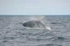 Горбатый кит пробивая брешь, треска накидки, Массачусетс Стоковые Фото