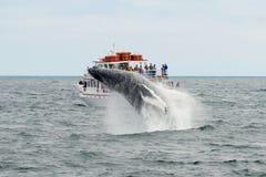 Горбатый кит пробивая брешь, треска накидки, Массачусетс Стоковое фото RF