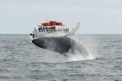 Горбатый кит пробивая брешь, треска накидки, Массачусетс Стоковое Фото
