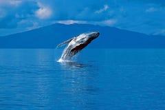 Горбатый кит пробивая брешь (novaeangliae Megaptera), Аляска, юг Стоковое фото RF