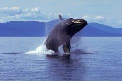 Горбатый кит пробивая брешь (novaeangliae Megaptera), Аляска, юг Стоковая Фотография
