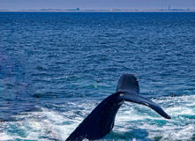 Горбатый кит плавая 2 стоковое изображение