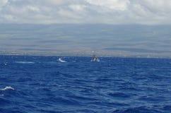 Горбатый кит скача около Мауи Стоковые Изображения
