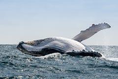 Горбатый кит скача, эквадор Стоковые Фотографии RF