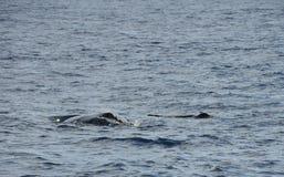 Горбатый кит с его младенцем в Индийском океане Стоковое Изображение