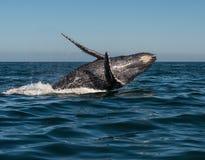 Горбатый кит танцев Стоковые Фотографии RF