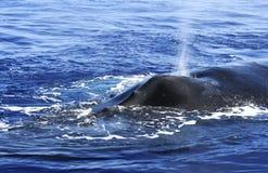 Горбатый кит Стоковое Изображение