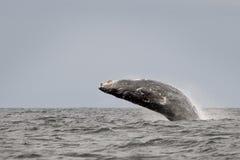 Горбатый кит Стоковые Изображения