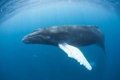 Горбатый кит 2 Стоковые Изображения