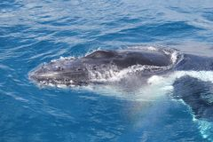 Горбатый кит Стоковая Фотография RF