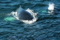 Горбатый кит Стоковые Изображения RF