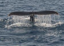 Горбатый кит Стоковые Фотографии RF