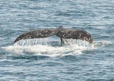 Горбатый кит Стоковые Фото