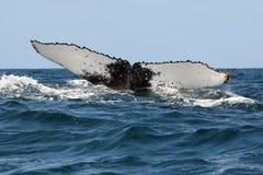 Горбатый кит Стоковое Изображение RF