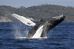 Горбатый кит breachiing Стоковые Изображения