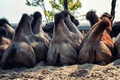 Горбы верблюда Стоковые Фото