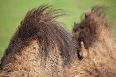 горбы верблюда Стоковое Изображение