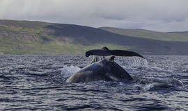 Горбы в Eyjafjordur Стоковая Фотография RF