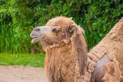 Горбы дромадера 2 верблюда коричневеют пушистое коричневое мех есть сено Стоковые Фотографии RF