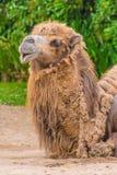 Горбы дромадера 2 верблюда коричневеют пушистую коричневую еду меха Стоковое Фото